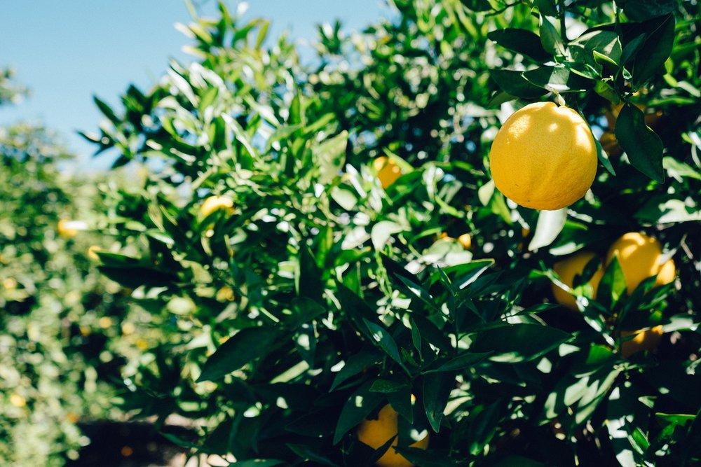 fruit-lemon-tree-6478.jpg