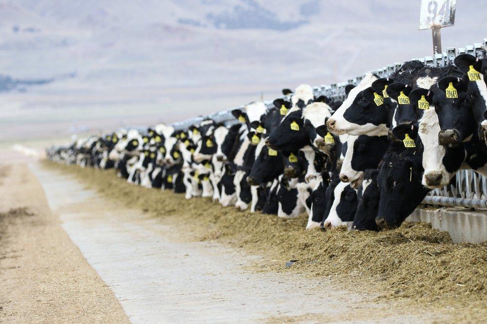 cows-3576078_1920.jpg