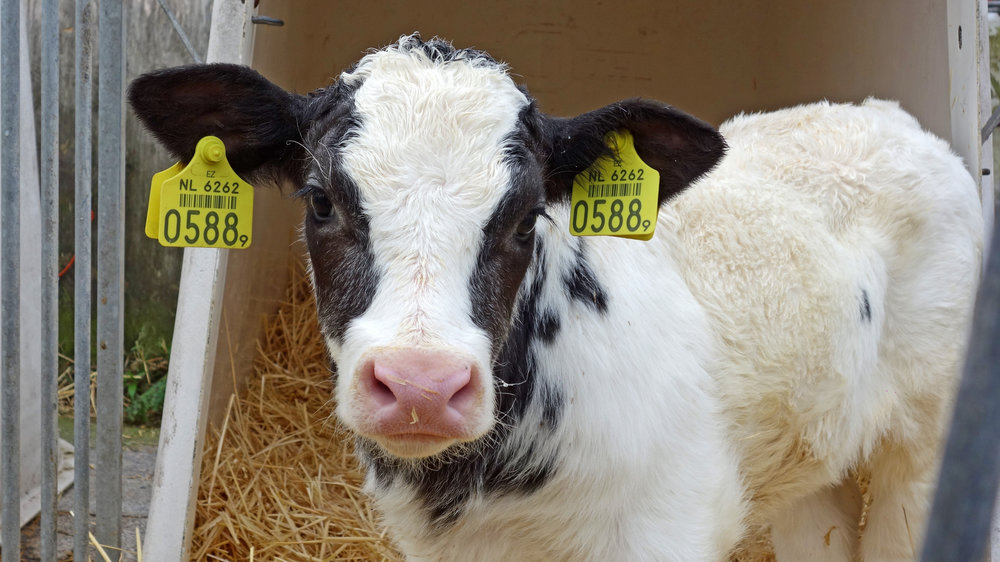 Canva - Cow, Calf, Animal, Cattle, Little Calf, Countryside.jpg