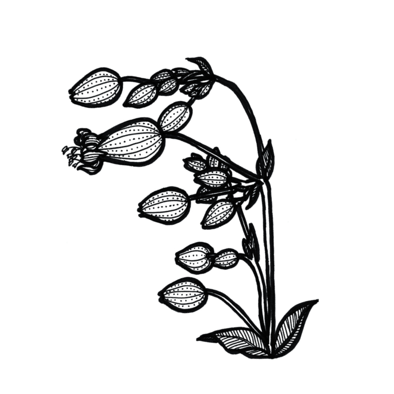 alpine-flora_individual-flowers3.jpg
