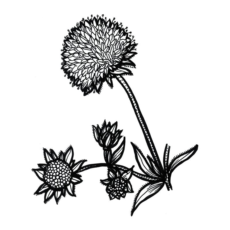alpine-flora_individual-flowers5.jpg