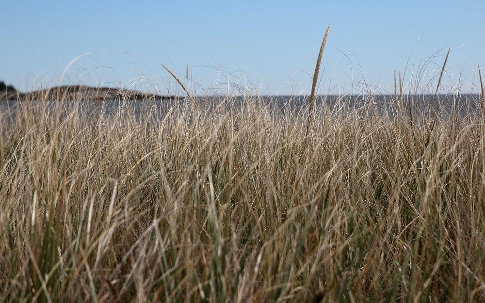 Beach-grass_IMG_7639.jpg