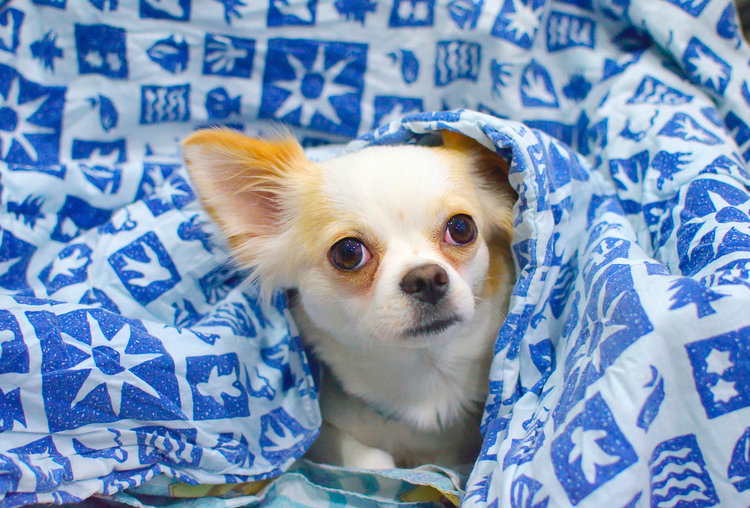 Chihuahua Torino Cuccioli Chihuahua Allevamento Chihuahua