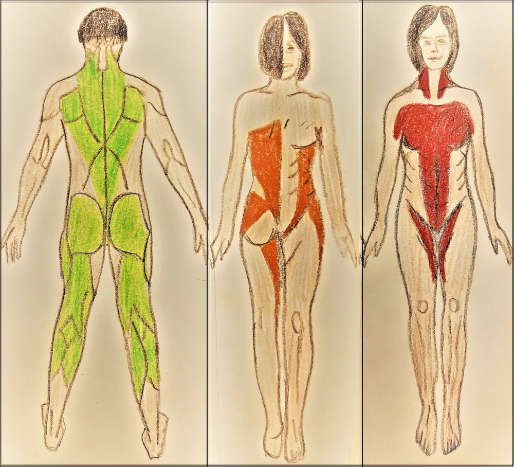 AREAS OF MUSCLE CONTRACTION INVOLVED IN THE GREEN LIGHT REFLEX, TRAUMA REFLEX, & RED LIGHT REFLEX: SOMATIC EDUCATION HELPS YOU RELEASE THESE AREAS OF TIGHTNESS THROUGH AWARENESS & GENTLE MOVEMENT [click on image to expand]