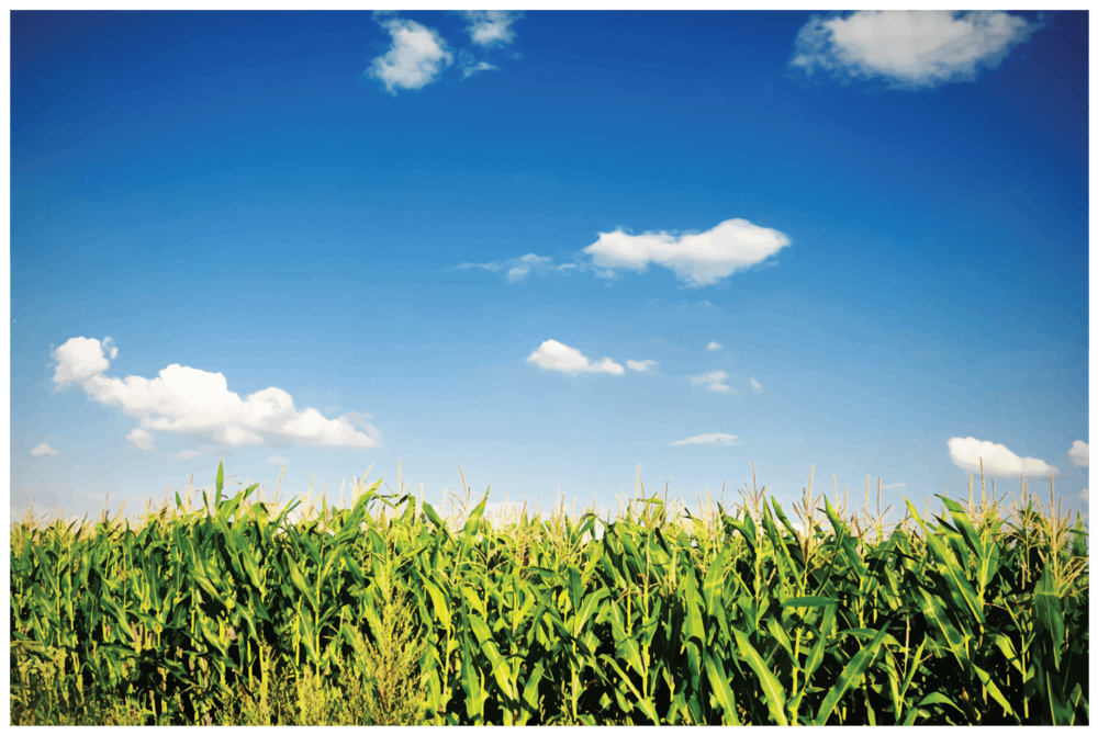 Corn Field.png