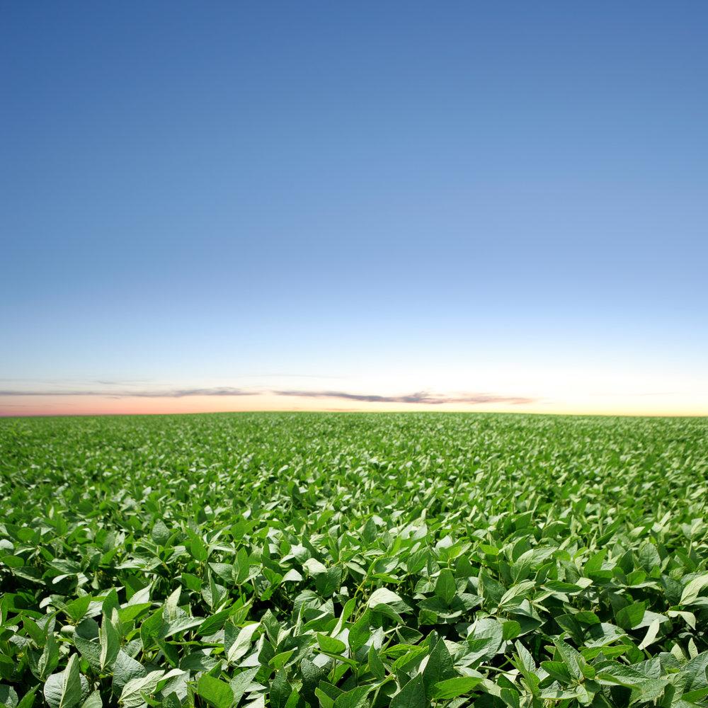 XXXL-soybean-field-twilight-184402922_4585x4585.jpeg