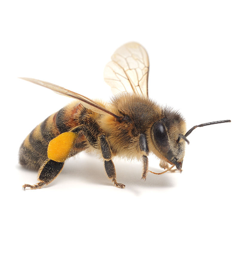European Honey Bee with Pollen