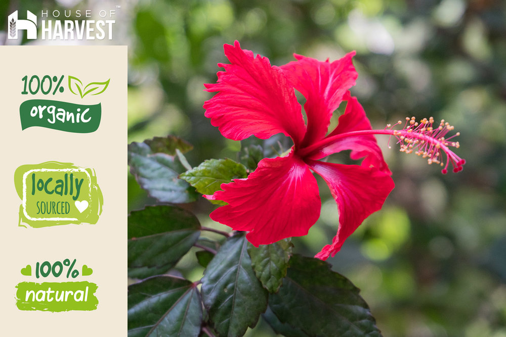 All About Organic Hibiscus Tea House Of Harvest