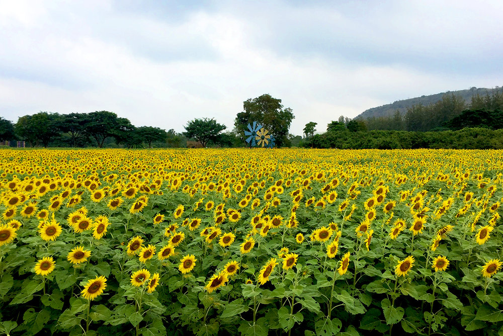 The sunflower field at the Jim Thompson Farm.