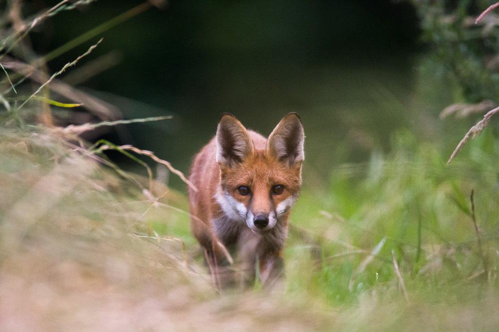 fox cub (6 of 7).jpg
