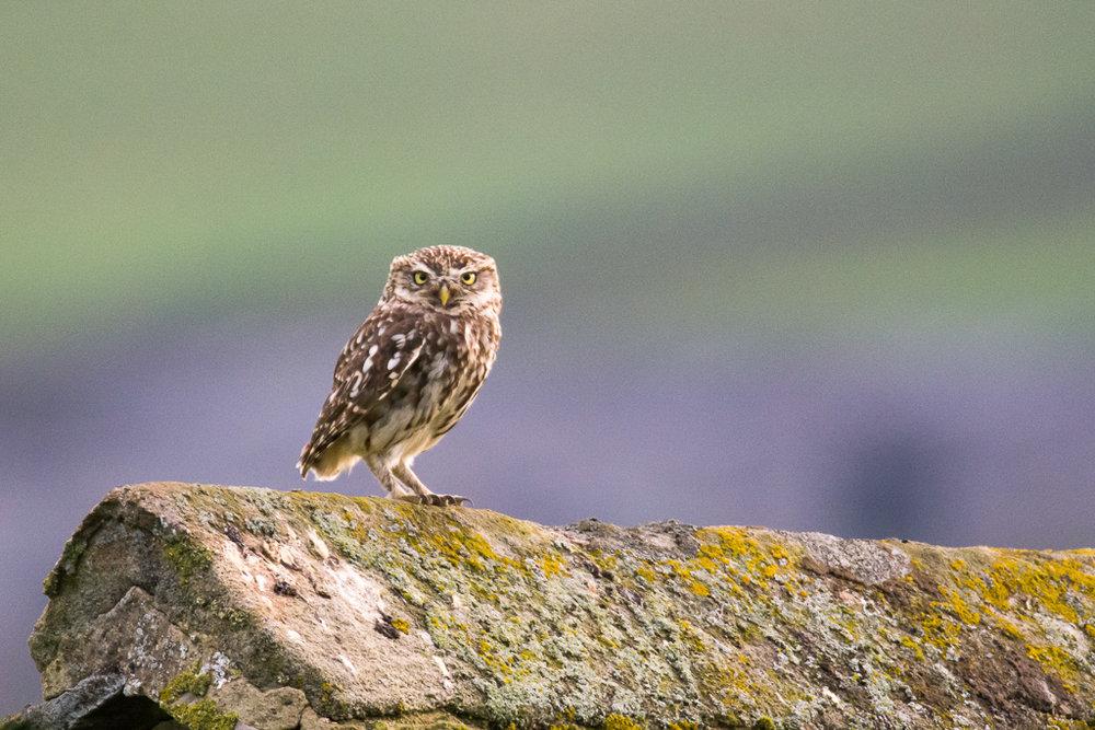 little owl (1 of 1).jpg