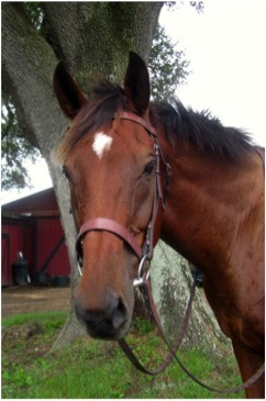 Name:  Jones  Breed: Thoroughbred Gelding Date of Birth: 1991 History: Racing, Foxhunting, Pleasure Riding