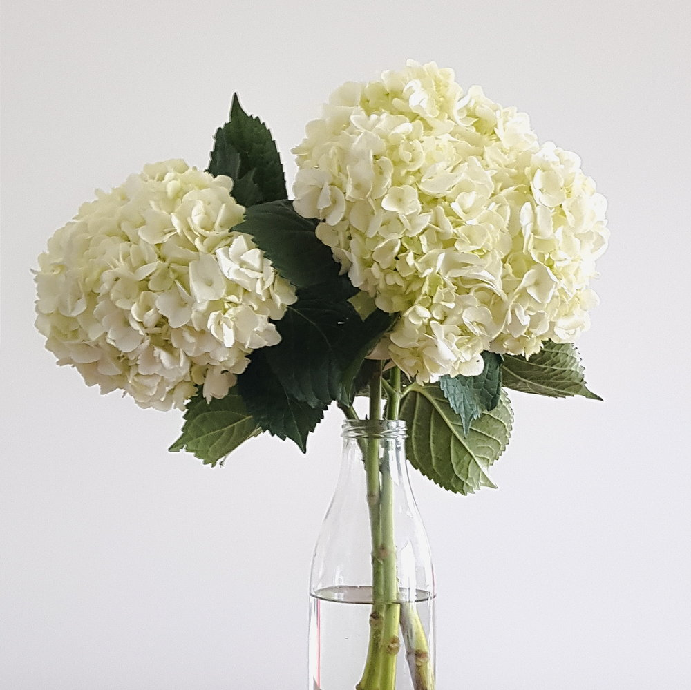 White Hydrangeas in glass vase. White background.
