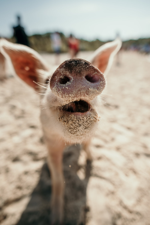 bahamas-vacation-in-exuma-pig-beach-2019DSC_5612.jpg