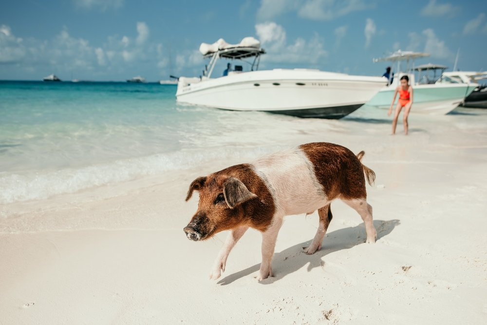 bahamas-vacation-in-exuma-pig-beach-2019DSC_5771.jpg