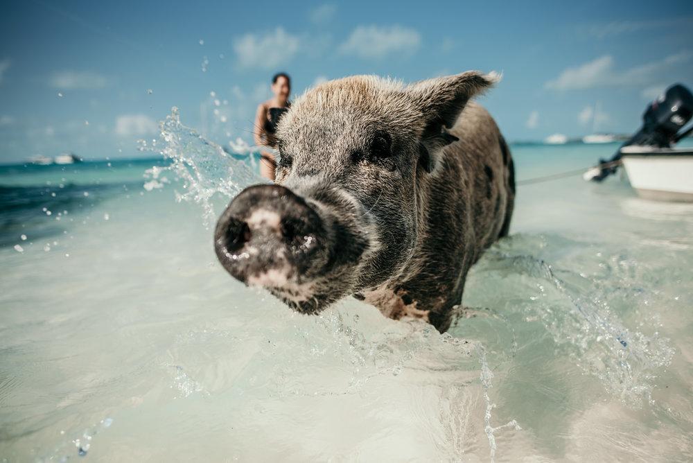 Pig Beach, Exuma, Bahamas - Ada and I travel to Pig Beach in Exuma, Bahamas!