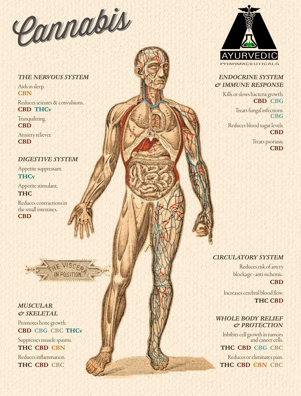 cannabis human.png