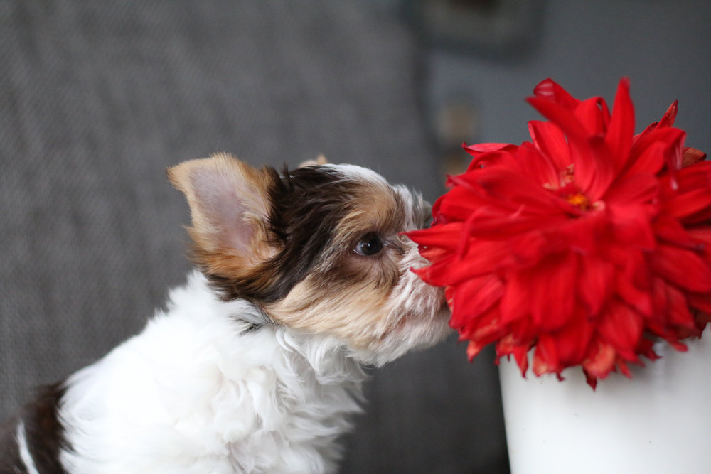 History of colored Yorkies -