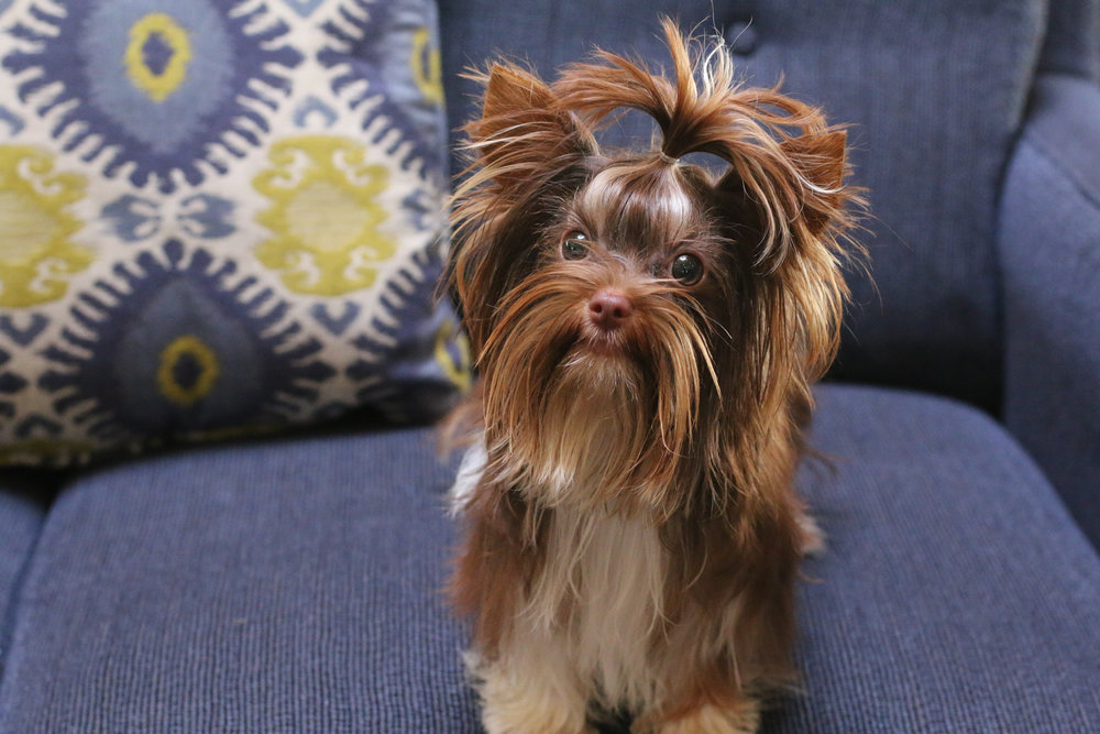 Your Yorkie will appreciate it. -