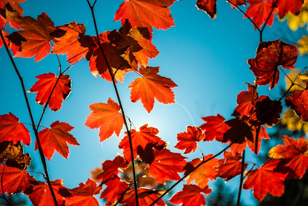 Leaves red blue sky.jpg