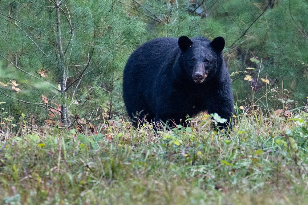 big black bear that crossed our path - photo  Barry Scully