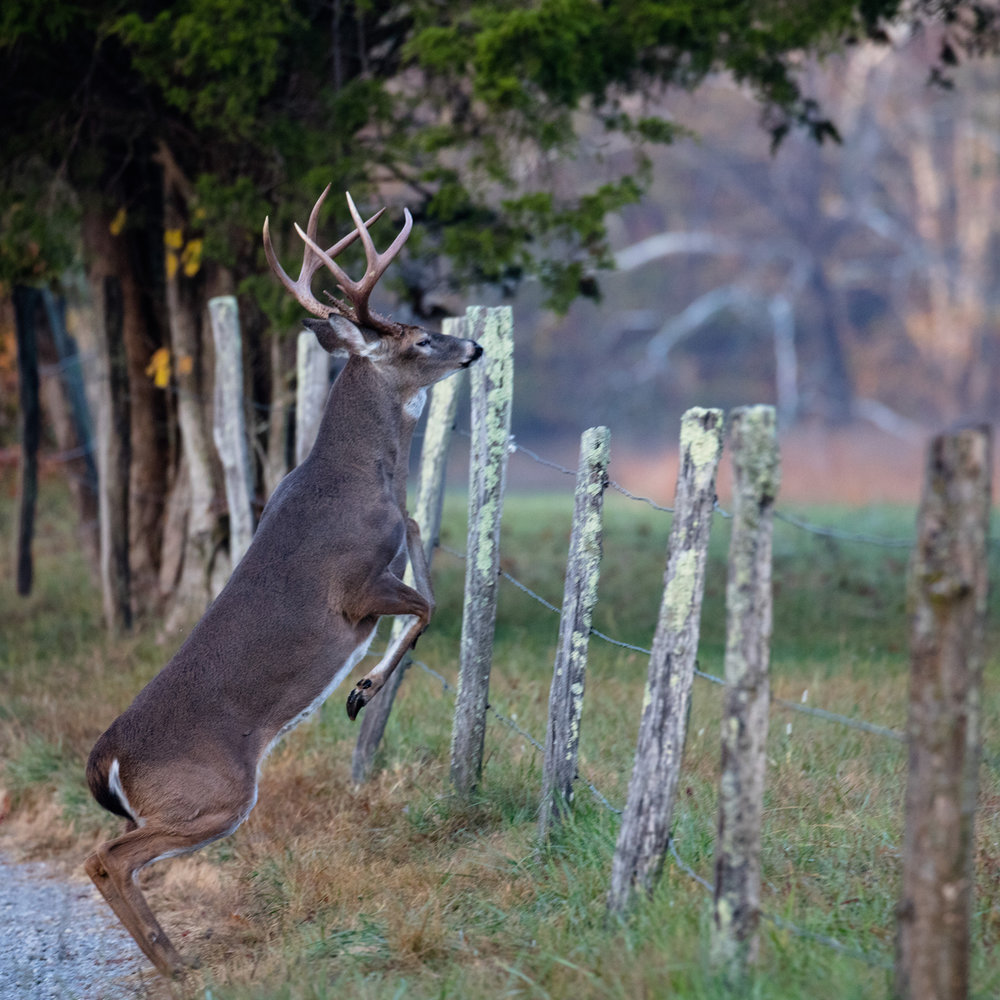 A great capture of buck jumping fence by  Barry Scully
