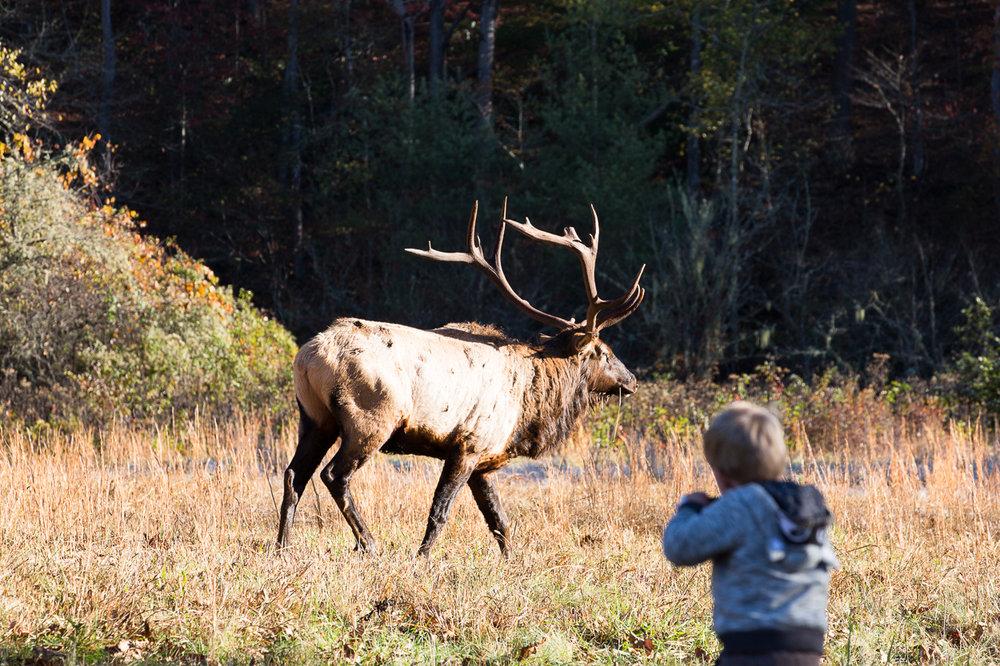 close encounter with elk