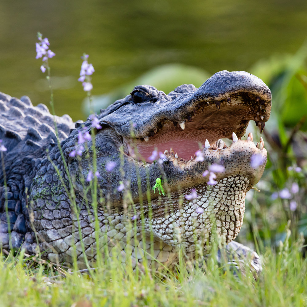 Alligator with fishing lure - Photo:  Barry Scully