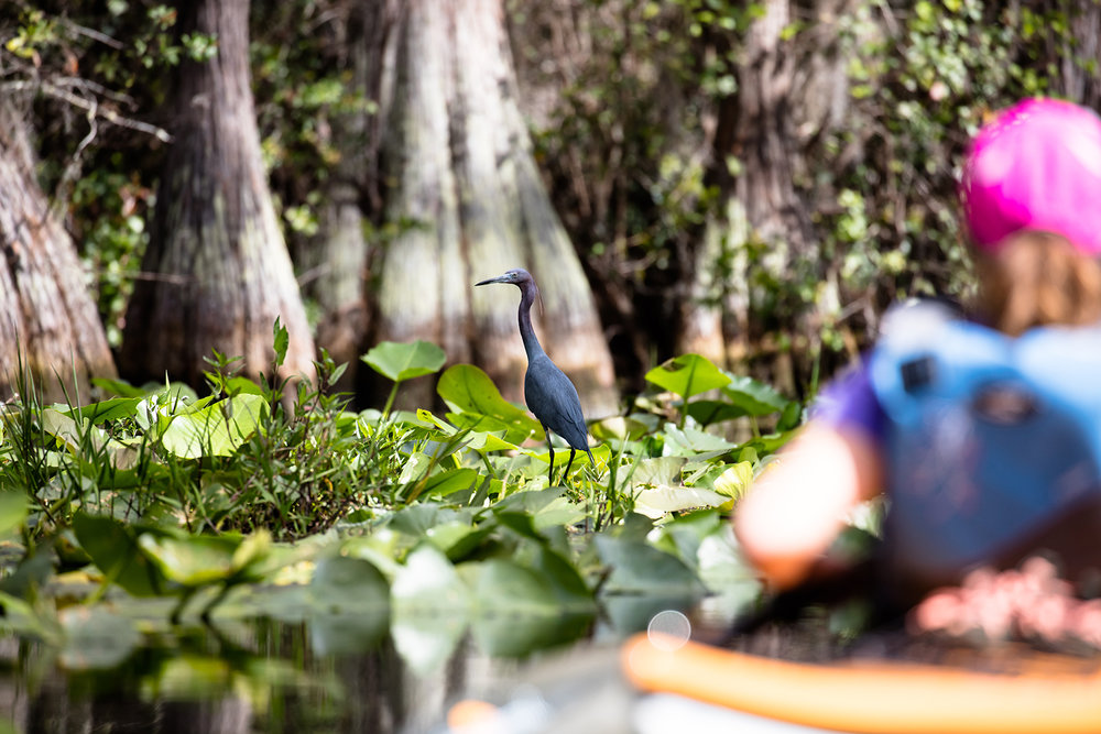 Little Blue Heron - Photo:  Barry Scully