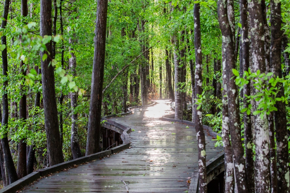 boardwalk leading into the light and the edge of the swamp