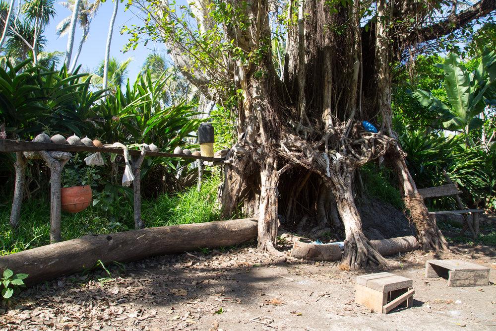 kava tree