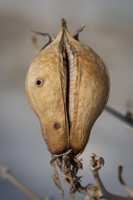 Soaptree Yucca Pod