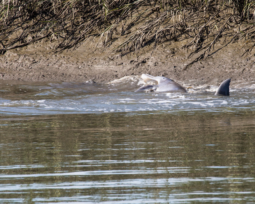 Semi-beached dolphin 'stand feeding' in the marsh