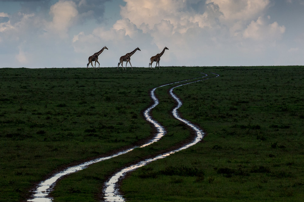 ROBIN MOORE   All Roads Lead to Giraffes, Kenya – 2018   Taken in a Rhino Sanctuary in Kenya where herds of reticulated giraffes roam vast plains. No two patterns are the same on these threatened giraffes.  Signed print, Limited Edition of 200  Professional Chromagenic Print  36 X 24""