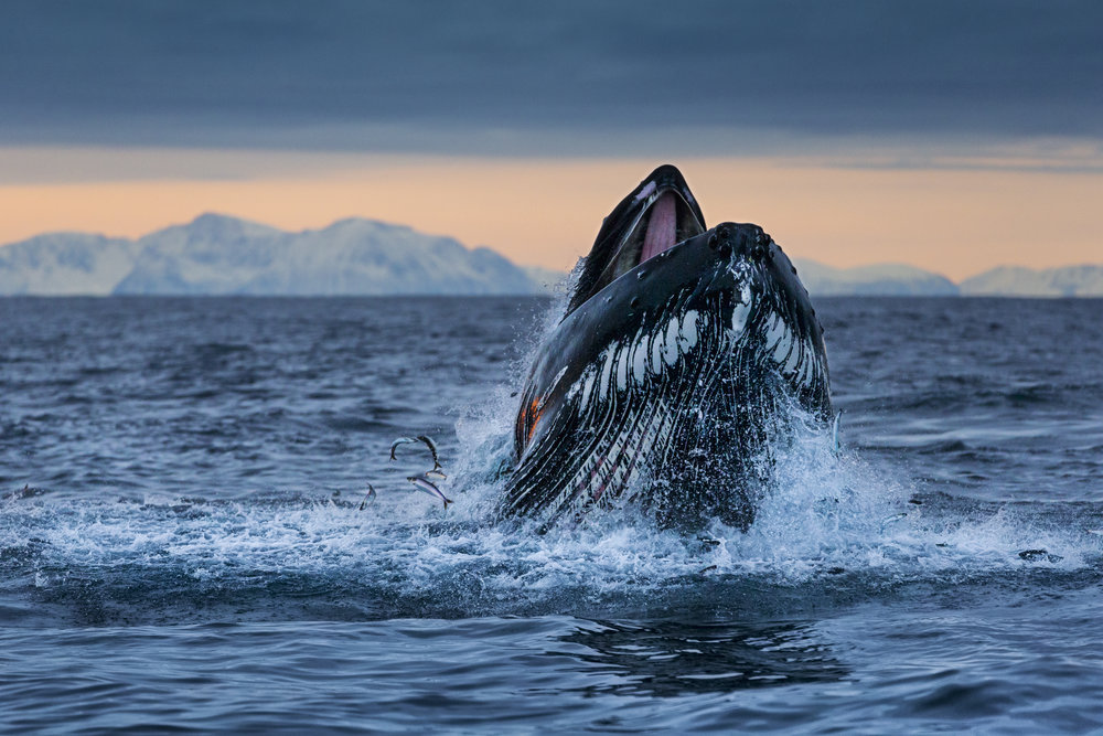 PAUL NICKLEN   Lunging Humpback Whale   Traveling through the open ocean along the northern fjords of Norway, a humpback whale lunges to the surface, filling its mouth with herring.  Professional Chromagenic Print  36 X 24""