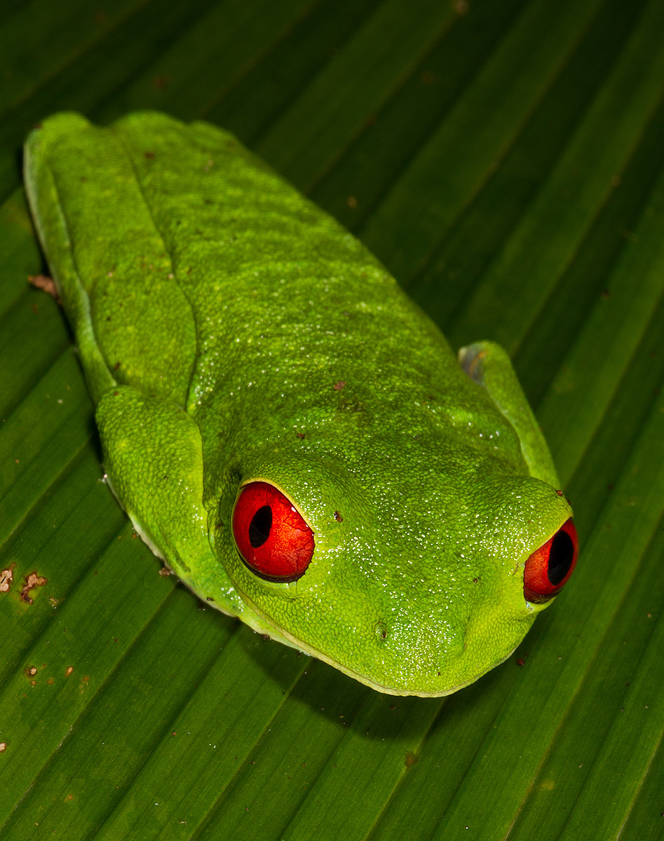 """They only come out at night… I was on a night hike when my flash highlighted the beautiful and complementary colors of this Red-Eyed Tree Frog. He is in a resting position, undisturbed by me."""