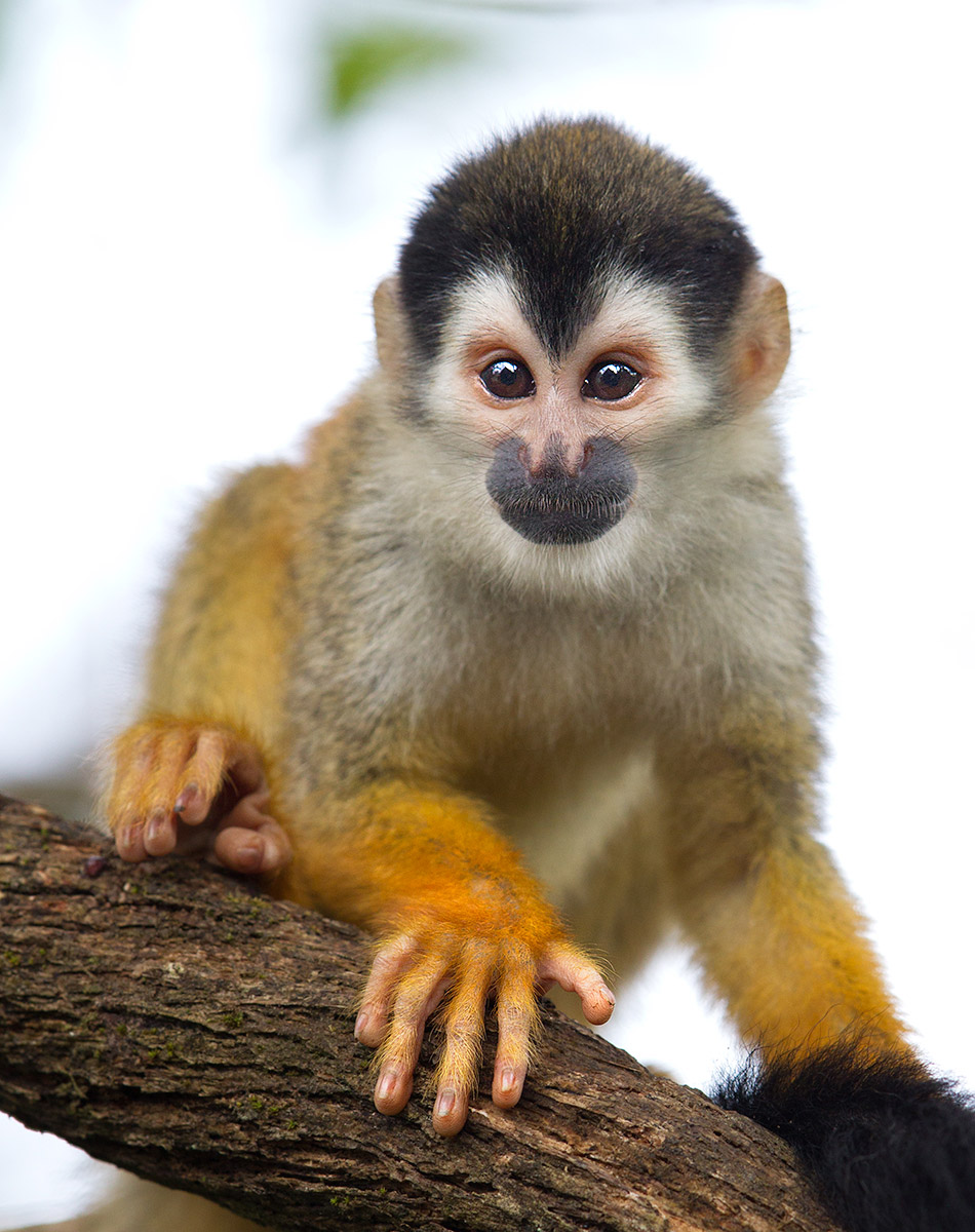 """It's rare to catch a Squirrel Monkey at eye-level but I had found this rudimentary bridge and then I found him. Look at those hands, a gorgeous reminder that we are genetically related."""