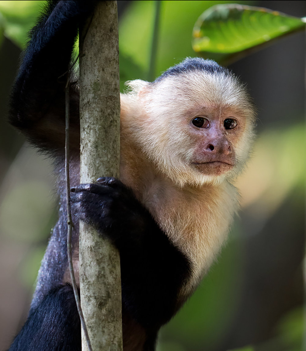 """Cautious and curious— the White-Faced Capuchin is not habituated but highly intelligent. It stopped to check me out before quickly moving on."""