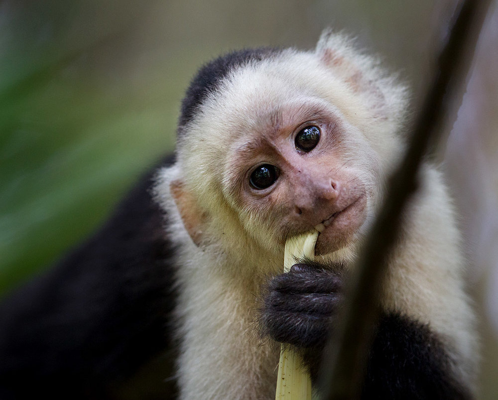 """I heard the rustle of leaves and a group of White-Faced Capuchin monkeys stormed through. One, on the forest floor paused for a second, grabbing a quick bite and I snapped away. I was upset thinking I had missed the shot but was thrilled to see this image when I got back home."""