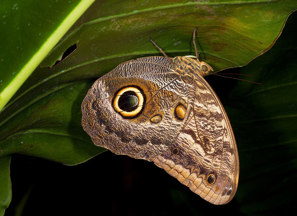 """I don't do a lot of shooting at night but when I do it allows me to capture the detail of textures and colors. Additionally the flash at night creates a nice separation of light and dark. The 'eye' on this Owl Butterfly is supposed to deter predators but in my case it only served to draw me in."""