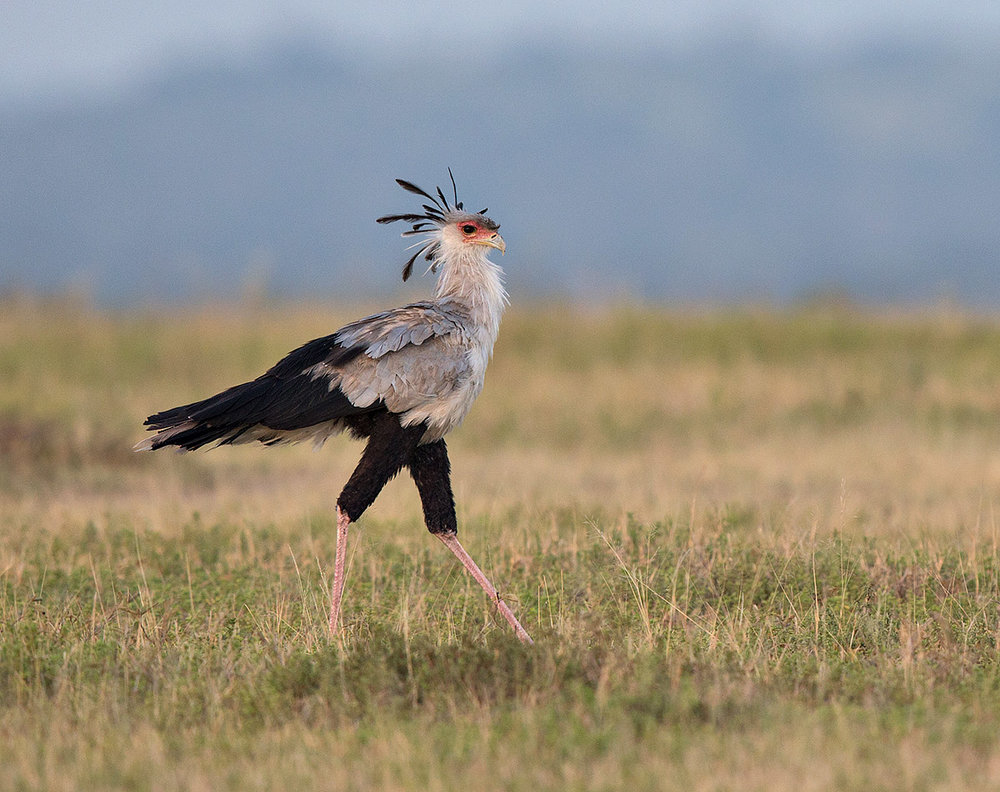 """I love the ""strut"" of this Secretary Bird, out walking the field, making her morning round and looking for food."""