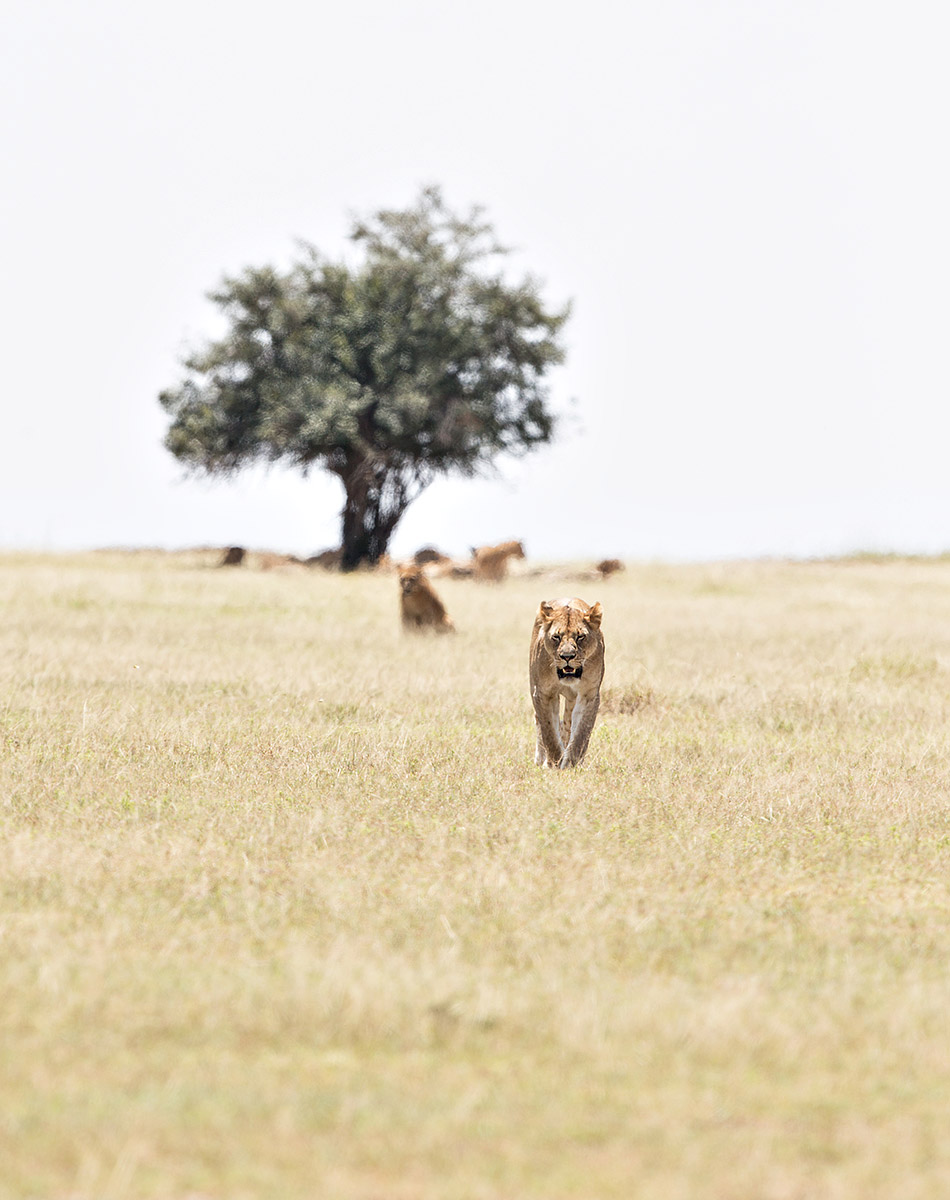 """This Lion has broken off to get some time and space away from the rest of the pride. I ran ahead to get this great shot of her coming towards us."""