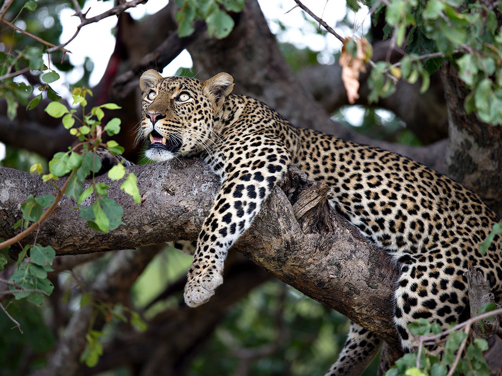 """Leopards are the most secretive of cats which makes them difficult to capture on film. This female is seeking safety and rest while her kill hangs a few branches away."""