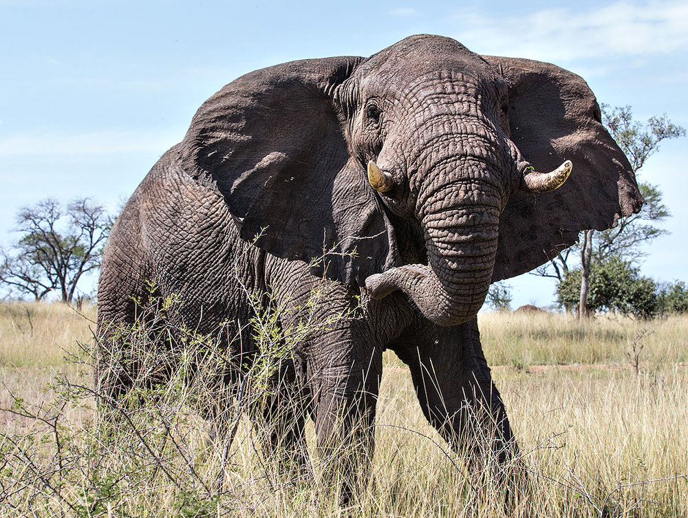 """This lone Bull Elephant charged us, a behavior not unusual when in the presence of man… the key to getting an image like this is to remain respectful and not run away."""