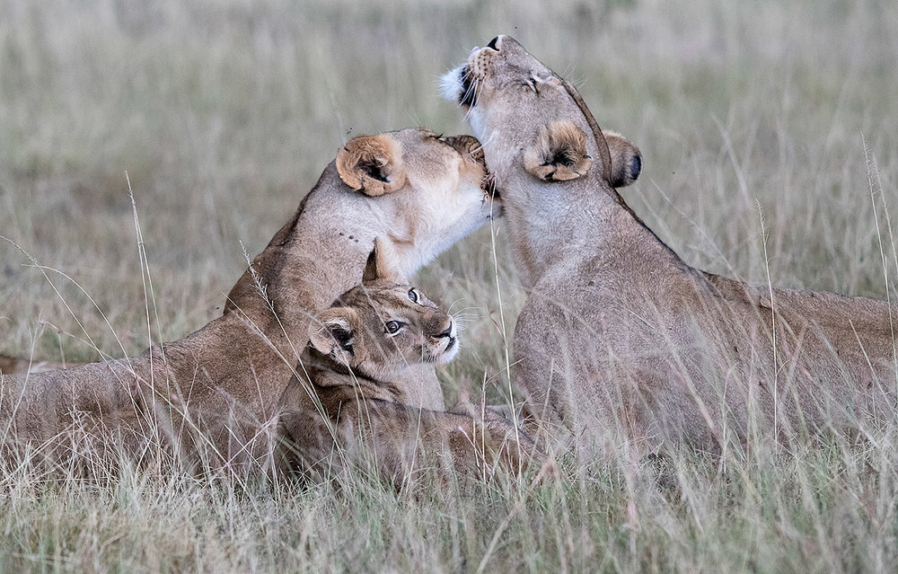 """In between feeding their cubs and finding shelter from the monsoon-like storm that would soon follow, these two lionesses took a break to tend to each other. For me, this image exemplifies the strong bond and supportive partnership between the two lions in the care and safety of the next generation."""