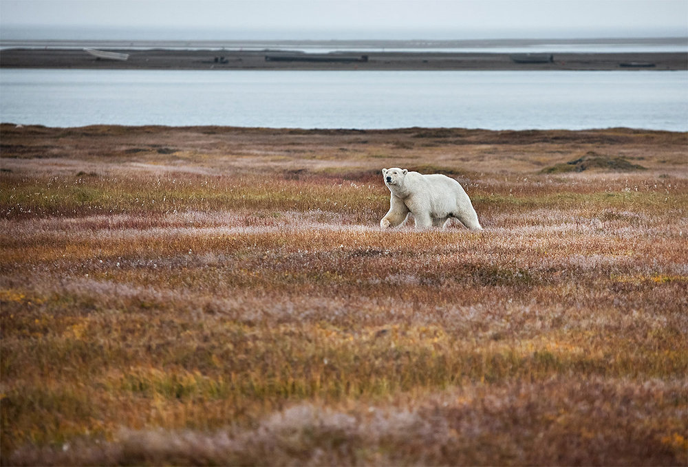 """""""This is in Kaktovic. The bear is making his way into the Inuit village which poses a danger to both bear and native. A delicate dance of respect will ensue where each recognizes and respects one another's role."""""""