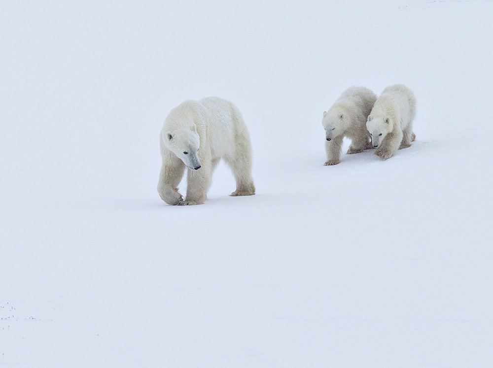 """""""Mom here is looking back, ensuring her cubs don't lag too far behind given the constant threat of males."""""""