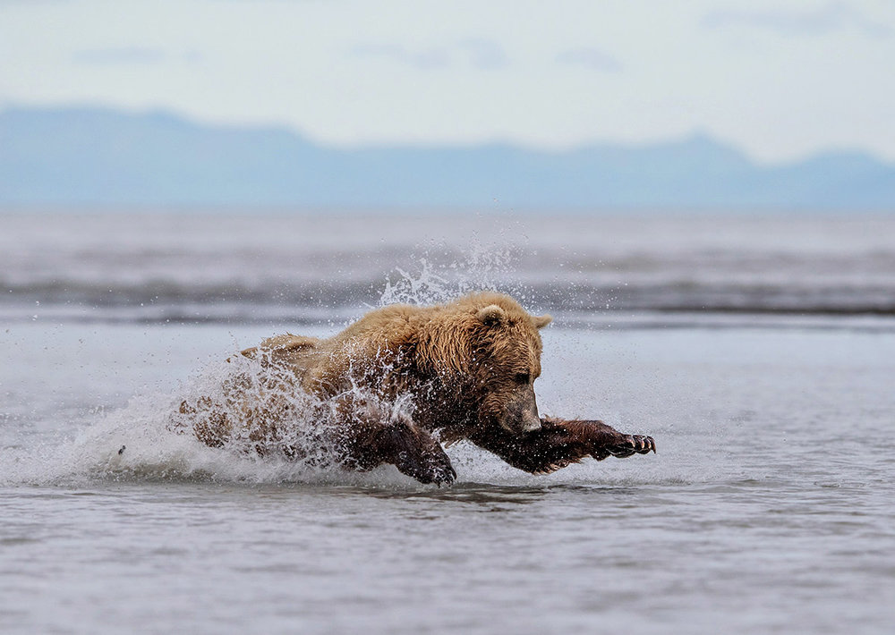 """I'd been watching a Mother and her 3 cubs searching for salmon. She was staring intently at the water, waiting patiently… and pounced! I like how this image captures her athleticism and grace— words not often associated with big bears."""
