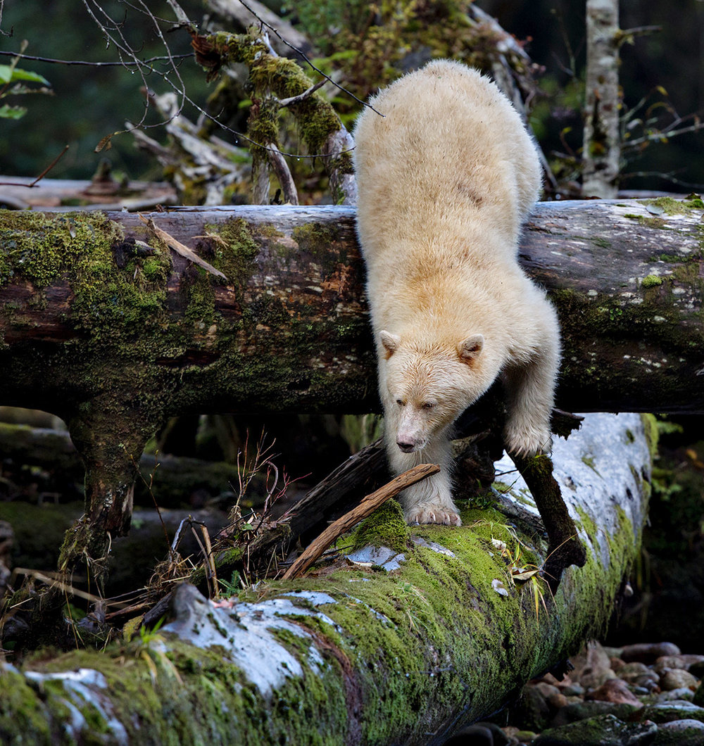 """Ah the Kermode. Only about 10% of the Black Bear population share the double-recessive gene that gives them their white color. I just love the body position as she ambles over the ancient fallen tree in search of food."""