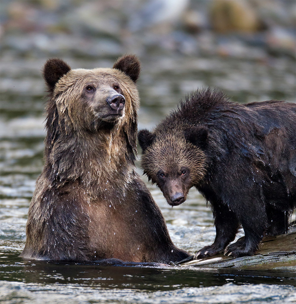 """This Mother and her Grizzly cub were taking advantage of a submerged log in the middle of the river. Mom is on the lookout for danger while her cub was fixated on me, providing me with this shot."""